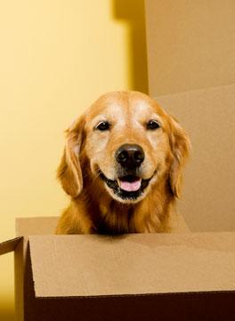 Golden Retriever in a moving box